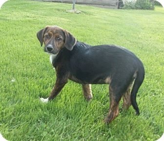 Beagle/German Shepherd Dog Mix Puppy for adoption in Liberty Center, Ohio - Jennifer