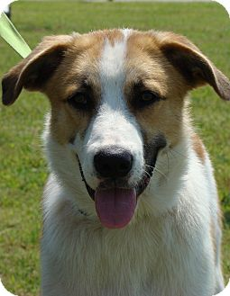 Great Pyrenees/Collie Mix Dog for adoption in Tulsa, Oklahoma - Jade  *Adopted