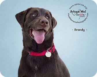 Labrador Retriever Mix Dog for adoption in Phoenix, Arizona - Brandy