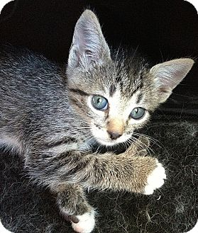 Polydactyl/Hemingway Kitten for adoption in Tampa, Florida - Rue