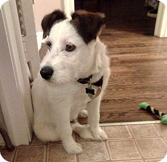 Terrier (Unknown Type, Medium)/Schnauzer (Giant) Mix Puppy for adoption in Salem, New Hampshire - ACE-FOSTER NEEDED