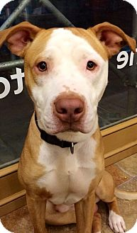 Pit Bull Terrier Mix Puppy for adoption in New York, New York - Jackson
