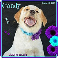 Adopt A Pet :: Candy - Plano, TX