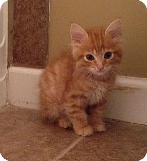 Domestic Shorthair Kitten for adoption in Marietta, Georgia - Spiderman