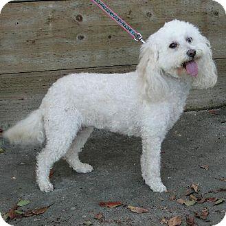 Poodle (Miniature) Dog for adoption in Walnut Creek, California - Molly