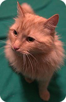 Domestic Longhair Cat for adoption in Portland, Maine - Aslan (SC)