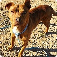 Adopt A Pet :: Maliki - Alamogordo, NM