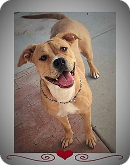 Staffordshire Bull Terrier Mix Dog for adoption in Santa Ana, California - Spice (JE)