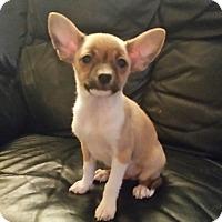 Adopt A Pet :: Denny - Chandler, AZ
