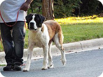 St. Bernard Dog for adoption in Pittsburgh, Pennsylvania - Maximus