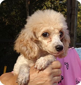 Poodle (Miniature) Dog for adoption in Crump, Tennessee - Melady
