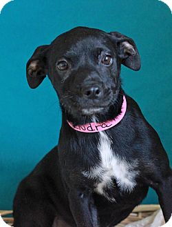 Shepherd (Unknown Type) Mix Puppy for adoption in Waldorf, Maryland - Kendra