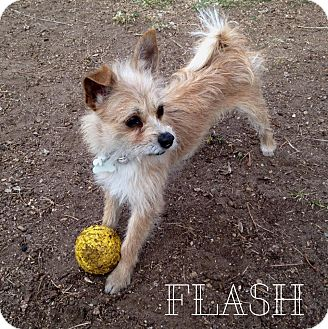 Terrier (Unknown Type, Small) Mix Dog for adoption in Tijeras, New Mexico - Flash