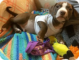 Staffordshire Bull Terrier/Pit Bull Terrier Mix Puppy for adoption in Phoenix, Arizona - Pittsburgh Steelers