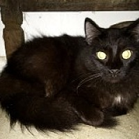 Domestic Longhair Cat for adoption in Naples, Florida - Reno
