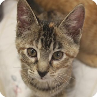 Domestic Shorthair Kitten for adoption in Naperville, Illinois - Sprinkles