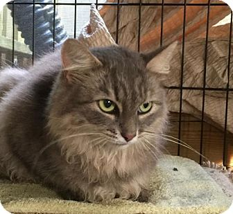 Domestic Longhair Cat for adoption in Flint HIll, Virginia - Baby