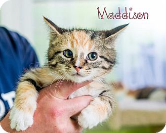 Domestic Shorthair Cat for adoption in Somerset, Pennsylvania - Maddison