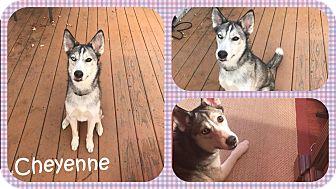 Siberian Husky Mix Dog for adoption in DOVER, Ohio - Cheyenne