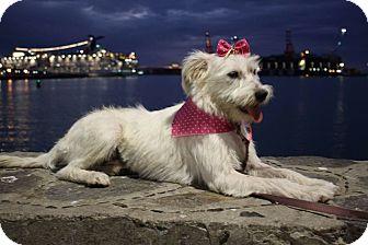 Schnauzer (Miniature)/Terrier (Unknown Type, Small) Mix Dog for adoption in Poway, California - MACARENA