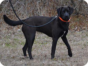 Labrador Retriever Dog for adoption in Lebanon, Missouri - Kasey