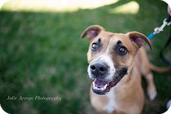 Basset Hound/Boxer Mix Dog for adoption in Phoenix, Arizona - Yoda