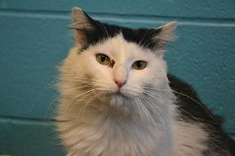 Domestic Longhair Cat for adoption in Akron, Ohio - Chimney *Special Adoption Fee
