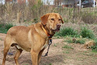 Labrador Retriever Mix Dog for adoption in Charlotte, North Carolina - Red