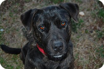 Labrador Retriever Mix Dog for adoption in Walnut Cove, North Carolina - Roxy