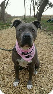 American Pit Bull Terrier Mix Dog for adoption in Chestertown, Maryland - Nyla