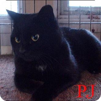 Domestic Shorthair Kitten for adoption in Great Neck, New York - PJ