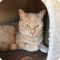 Domestic Shorthair Cat for adoption in Des Moines, Iowa - Sera