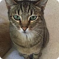 Polydactyl/Hemingway Cat for adoption in Burlington, Washington - Shaylin