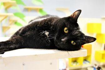 Domestic Mediumhair/Domestic Shorthair Mix Cat for adoption in Lynchburg, Virginia - Alexa