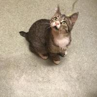 Adopt A Pet :: Simon - BATH, NY