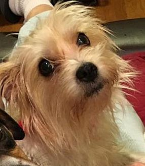 Terrier (Unknown Type, Small)/Yorkie, Yorkshire Terrier Mix Dog for adoption in Conesus, New York - Darby