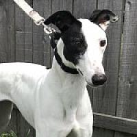 Adopt A Pet :: KNJ KARA'S DREAM - Grandville, MI