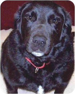 Labrador Retriever Mix Dog for adoption in Grass Valley, California - Ruger