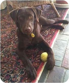 Labrador Retriever Puppy for adoption in Evergreen, Colorado - Jolly