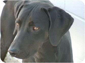 Labrador Retriever/Pointer Mix Dog for adoption in Meridian, Idaho - Kramer