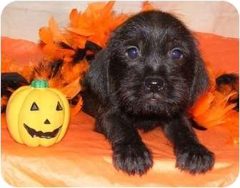 Schnauzer (Standard)/Pug Mix Puppy for adoption in Oswego, Illinois - Gretchen
