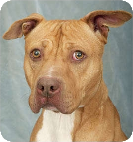 American Pit Bull Terrier Dog for adoption in Chicago, Illinois - Cherry