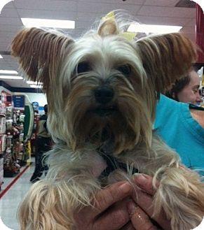 Yorkie, Yorkshire Terrier Dog for adoption in Studio City, California - Gelsey
