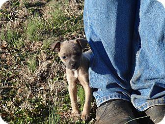 Chihuahua/Chihuahua Mix Puppy for adoption in Syacuse, New York - Bobo