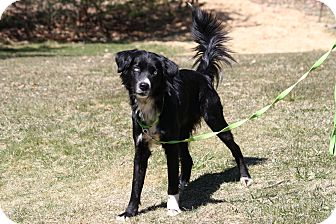 Border Collie Mix Dog for adoption in West Milford, New Jersey - CYPRUS