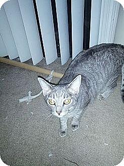 Domestic Shorthair Cat for adoption in Phoenix, Arizona - Gracie