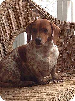 Dachshund Dog for adoption in Brattleboro, Vermont - Asher