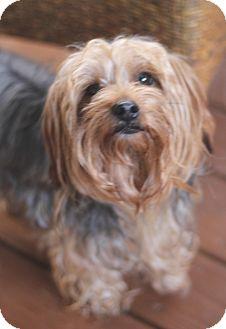 Yorkie, Yorkshire Terrier Dog for adoption in Atlanta, Georgia - Max