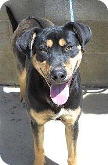 Rottweiler/Shepherd (Unknown Type) Mix Dog for adoption in Rexford, New York - Zuri