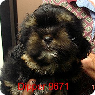 Shih Tzu Mix Puppy for adoption in Greencastle, North Carolina - Dipper